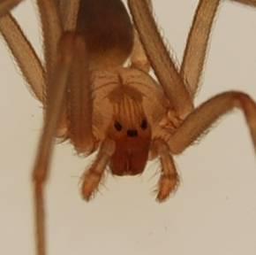 File:Loxosceles reclusa adult male 4.jpg