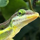 Statia Bank Lizard, Green Tree Lizard