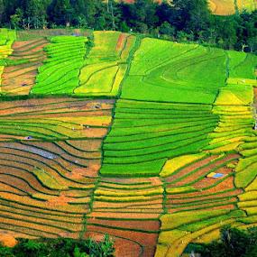 Pattern of Sawah by Taufiqurrahman Setiawan - Landscapes Prairies, Meadows & Fields