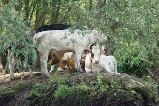 Photo: Nederland  Koeien zoeken verkoeling onder de bomen in de Biesbosch  bron: www.picturesofholland.nl  .