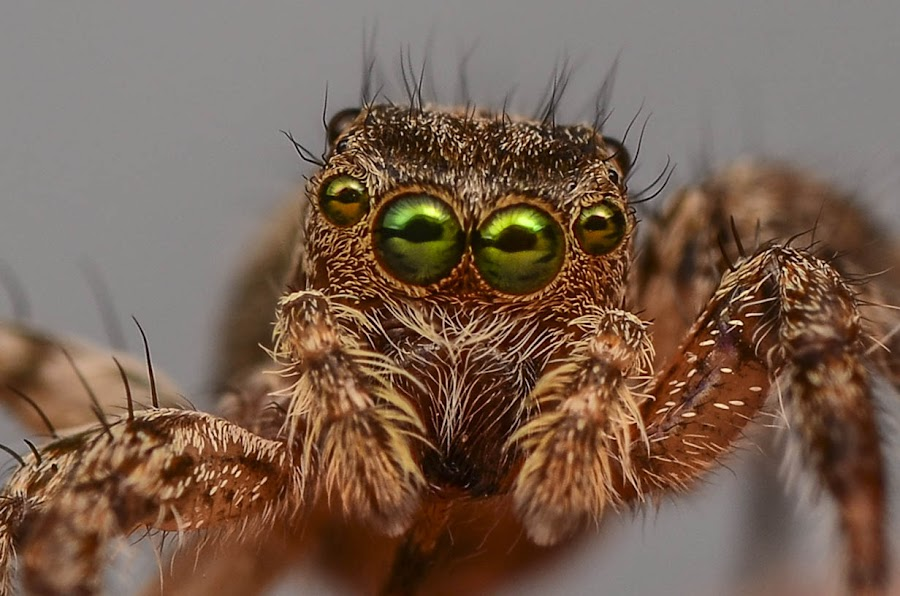 Golden Green Eyes by Bede Poukin - Animals Insects & Spiders ( macro, jumping spider )