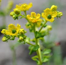 Photo: Ruta chalapensis (Rutaceae) Fringed Rue