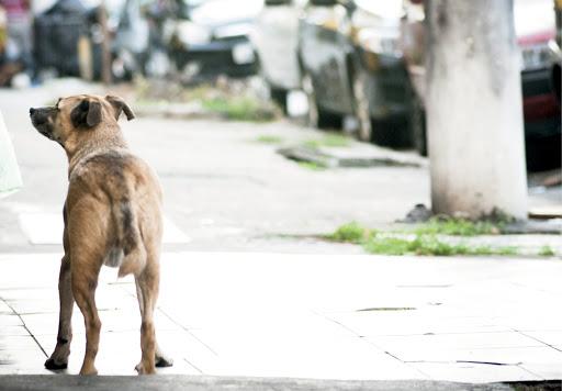 Cães de rua e domésticos são reservatórios deLeishmania…Imagem: Léo Ramos Chaves