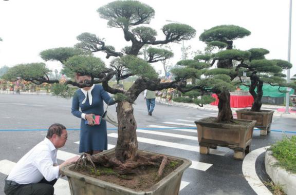 Cây Xanh Miền Nam cung cấp bonsai hàng đầu