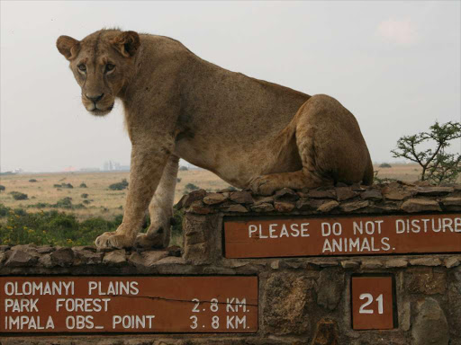 A lioness rests on a signage at Nairobi's National Park: REUTERS