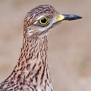 Eurasian stone-curlew.jpg