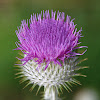 Cotton thistle, Eseldistel