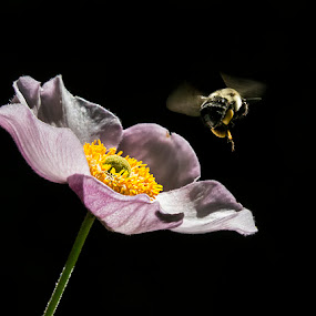 by Marianna Armata - Nature Up Close Flowers - 2011-2013 ( flying, macro, bee, anemone, bumble, marianna armata, insect, flower,  )