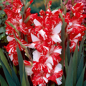 Gladiolus Flower HD Wallpaper