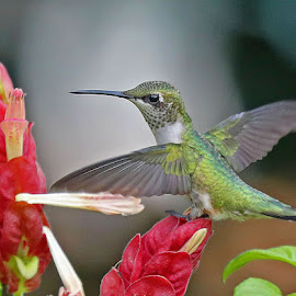 Resting! by Anthony Goldman - Animals Birds ( tampa, nature, srip plant, wings, bird, hummingird, woildlife, florida., flower,  )