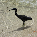 Pacific reef heron (dark morph)