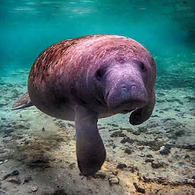 are you my mother? by Beth Krzes - Animals Sea Creatures ( manatee, sea cow, crystal river, three sisters, water,  )