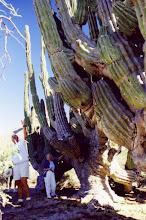 Photo: #029-Cactus dans le désert du Sonora