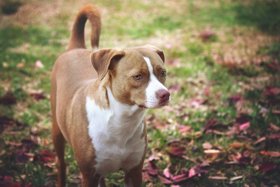 Maggie by Stephanie Burke - Animals - Dogs Portraits ( basenji, mixed breed, beagle, pup, pet photography, petportrait, dog )
