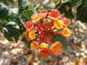 Photo: Lantana Flower