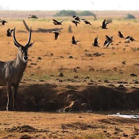Tsavo national park  by Pier Riccardo Vanni - Animals Other (  )
