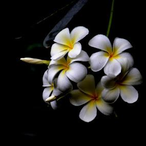 Coming out of darkness by Kaniz Khan - Flowers Flower Gardens ( kath golap, tree blossom, bloom, frangipani flowers, gardenn,  )