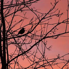 Blackbird at Dawn by Rachel Startin - Animals Birds ( silhoutte, blackbird, sunrise )