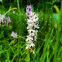 Common spotted albino Orchid