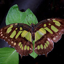 Malachite - Brush Footed Butterfly