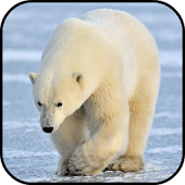 Polar Bear Wallpapers