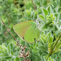 Green Hairstreak / Zeleni kupinar