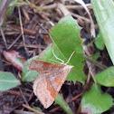 Larentiinae moth / Пяденицы волнистые.
