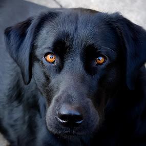 Piercing Eyes by Lori Louderback - Animals - Dogs Portraits (  )