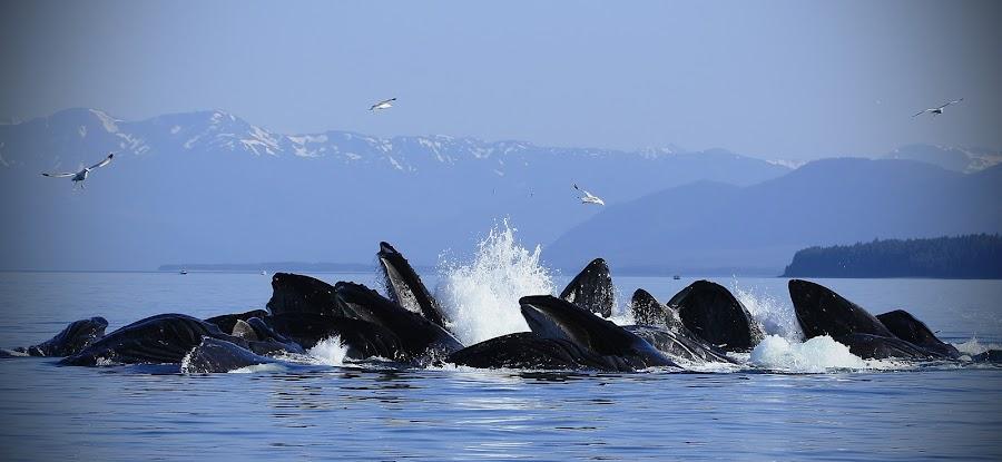 Bubble Net Set by Adam Taylor - Animals Other Mammals ( humpback, bubble, feeding, alaaka )