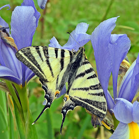 butterfly at lily by Bojan Dobrovodski - Animals Other ( butterfly at lily blue spring wild )