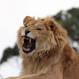LION by Susan Botha - Novices Only Wildlife