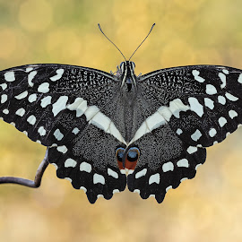 Papilio demodocus (Esper, 1798) by Eric Niko - Animals Insects & Spiders ( africa, papilio demodocus, butterfly, black, colors,  )