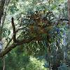 Elkhorn Ferns (super cluster) epiphytes