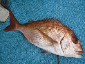 Photo: サイズアップの真鯛!