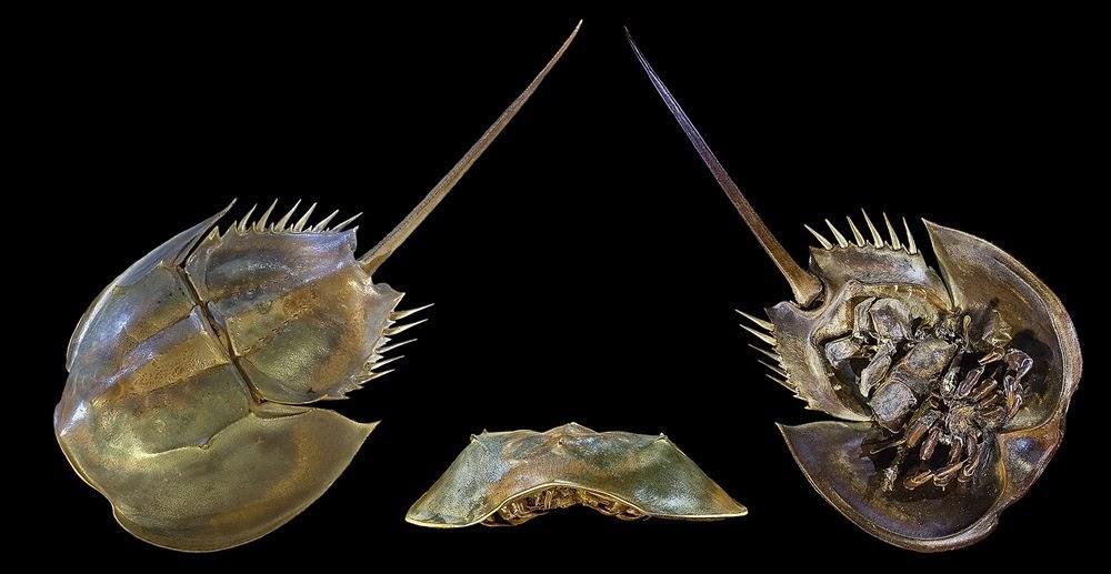 O valioso sangue azul do caranguejo-ferradura