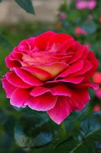 Photo: Róża z Wiślicy