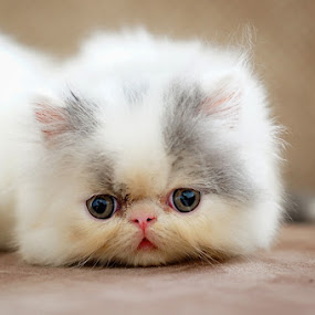 by AUGGIE Resta Cat - Animals - Cats Portraits