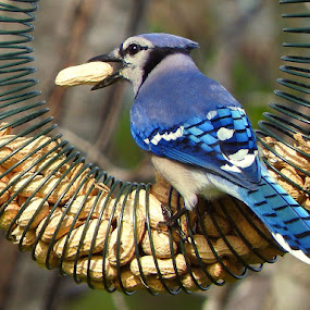 Blue Jay taking a peanut by Bill Martin - Animals Birds ( bird, nature, blue, color, blue jay )
