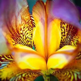 Iris by Jocelyne Maucotel - Flowers Single Flower ( iris, close up flower, flower )