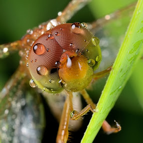 Dragonfly by Herman  Noh ( Kajong ) - Animals Insects & Spiders