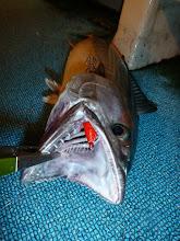 Photo: イカが食わない! ハガツオがスッテに食ってくる!・・・だから食いがイマイチなのかー?
