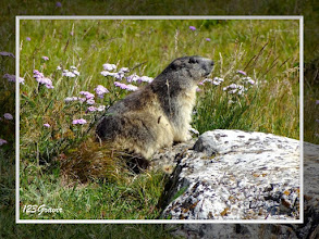Photo: Marmotte des Alpes, Marmota marmota