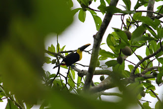 Photo: Tucan. They were everywhere, in a flock.