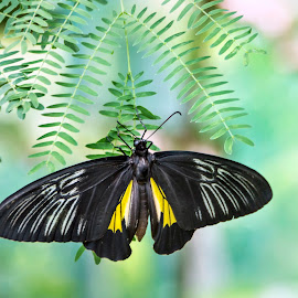 Black Butterfly by Geoffrey Wols - Animals Insects & Spiders ( butterfly, insect, yellow, leaf, philippines,  )