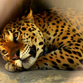 i too miss her!!!! by Siddhartha Chitranshi - Animals Lions, Tigers & Big Cats ( big cat, lion, zoo, leopord, animal )