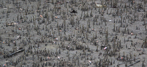 Photo: A forest of crabs among pneumatophores aerial roots of the mangroves (Avicennia sp.)  http://en.wikipedia.org/wiki/Aerial_root