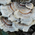 False Turkey Tails