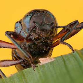 serangga by Aep Saepudiah - Animals Insects & Spiders ( macro, micro, yelow, bug, steaking, insect, close up )