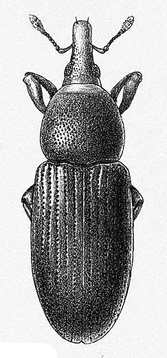 Adult - Broad-nosed granary weevil – Caulophilus oryzae