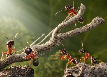 Malaysian Exploding Ant, Meledakkan Diri